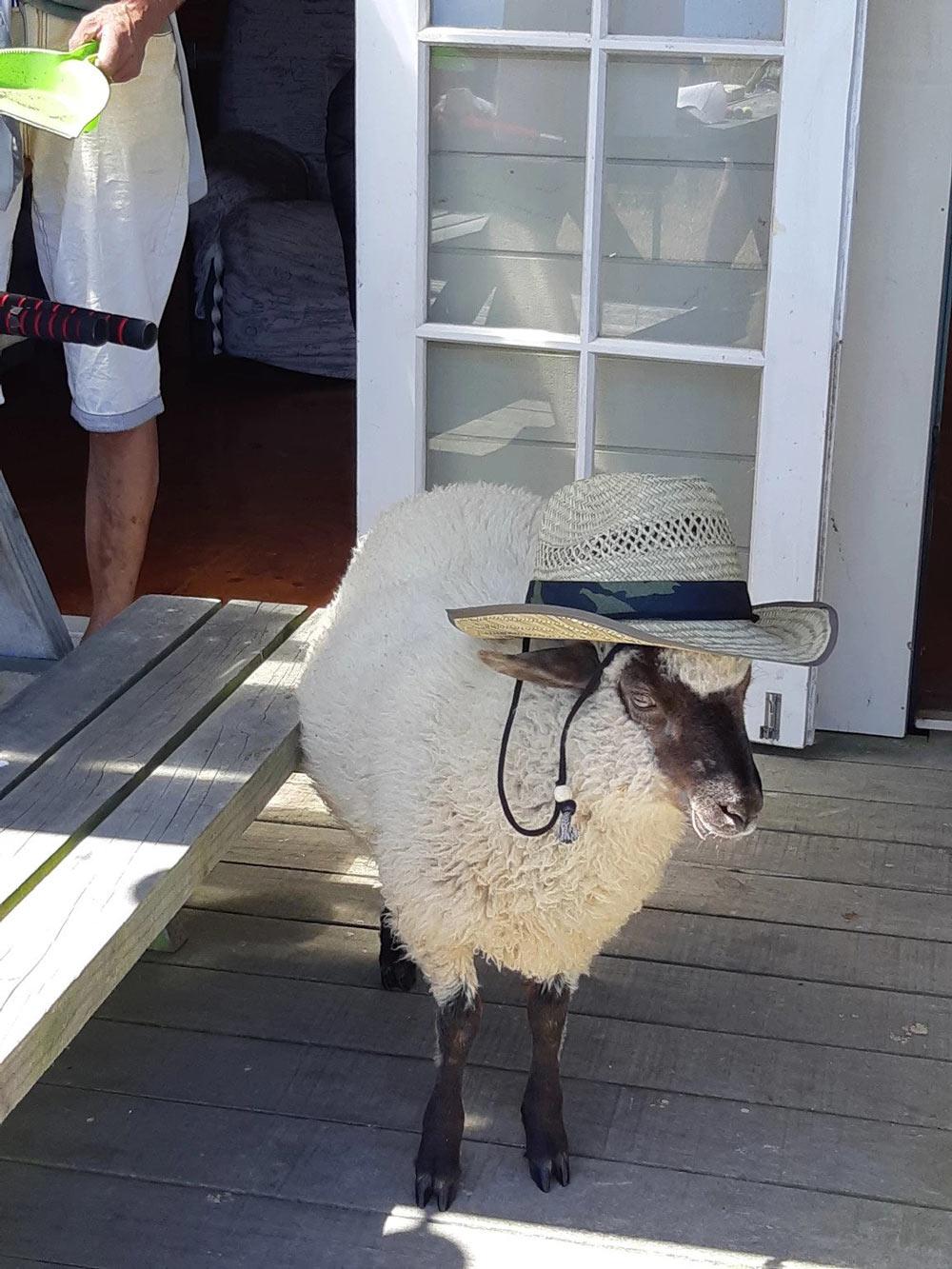 Little Cutie Pie Lamb Enjoys Summer